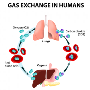 Zuurstof opname in lichaam
